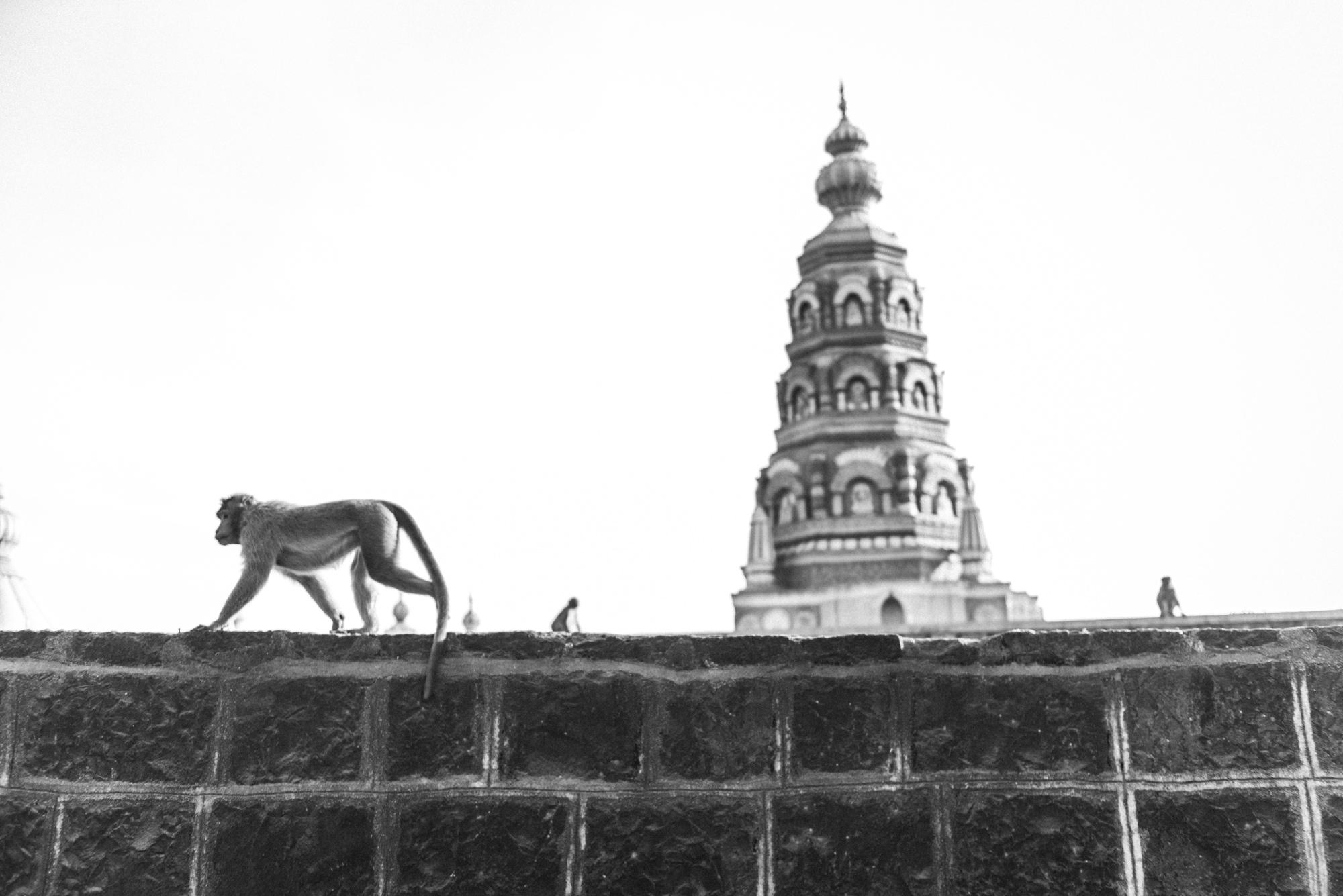 Affe im Shirsaidevi Mandir temple